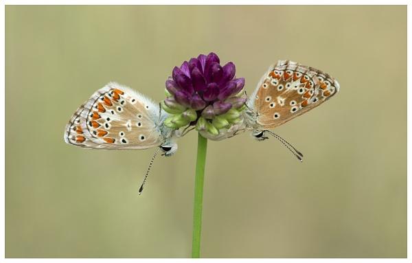 Southern Brown Argus - Aricia cramera. by NigelKiteley