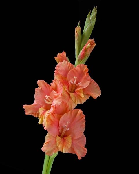 Gladiolus by RonnieAG
