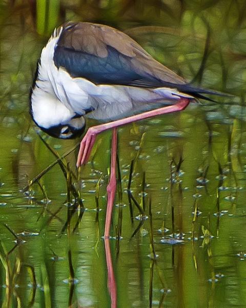 Black-necked stilt by jbsaladino