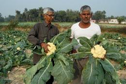 Giant cauliflower