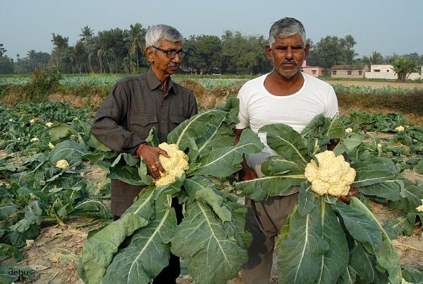 Giant cauliflower by debu