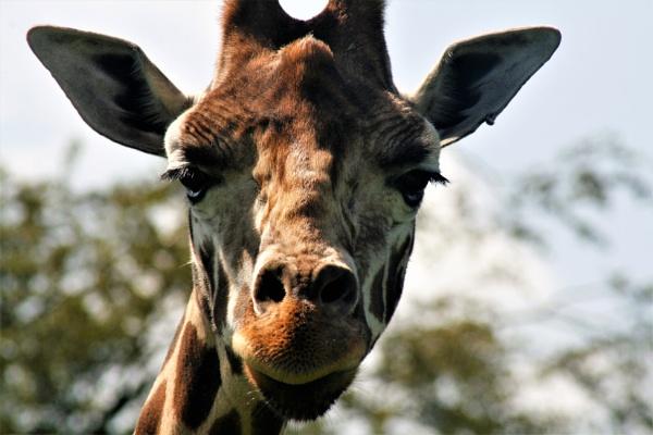Giraffe by lesstow