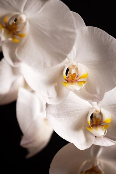 Orchid by Arvorphoto