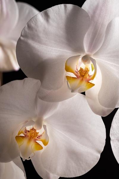 Orchid II by Arvorphoto