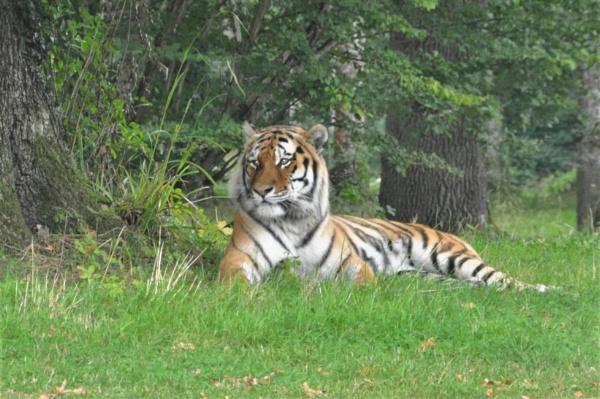 Tiger @ Longleat by AshleyD