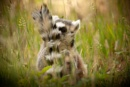 Ring-tailed Lemur by answersonapostcard