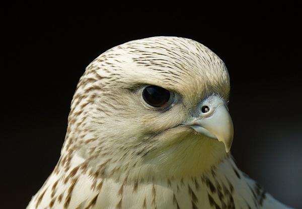 Saker Falcon by nealie