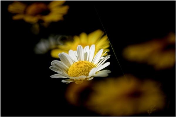 ........... Daisy by tralfamadorean