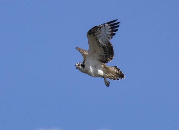 Osprey by ali63
