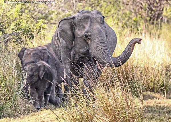 Asian Elephants, Hunula Eco Safari Park, Sri Lanka by brian17302