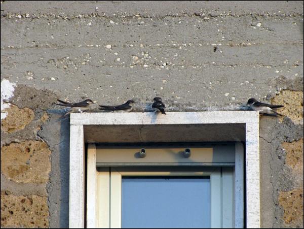 swallows...a mini series by laura1