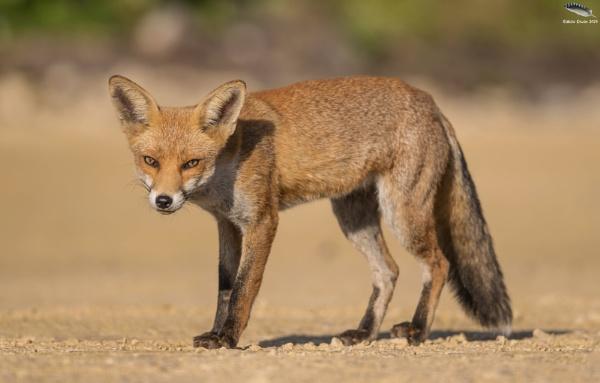 Urban Red Fox by mufftrix