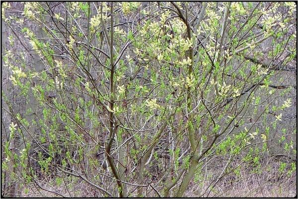 weidenkätzchenbaum - willow bloom by FabioKeiner