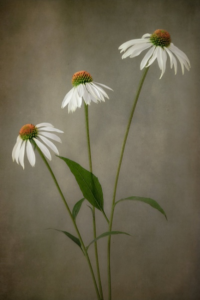 Echinacea \'White Swan\' by flowerpower59