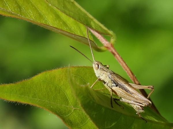 Grasshopper by DerekHollis