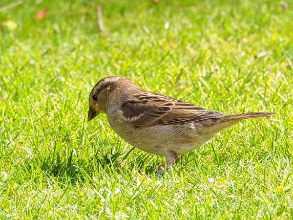 Sparrow by DaveRyder