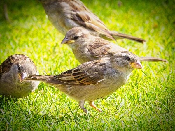 Juvenile House Sparrow by DaveRyder