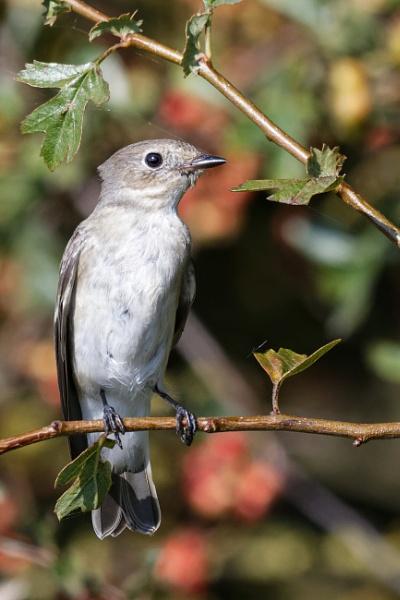 Juvenile Pied Flycatcher by Wanilson