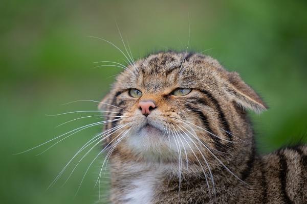 Scottish Wildcat by Les_Cornwell