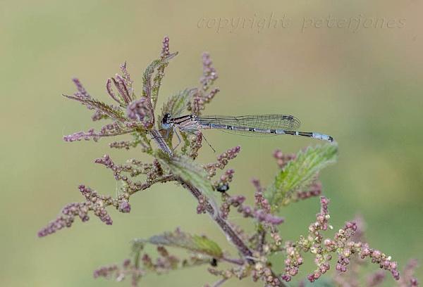 Common Blue Damselfly by peterjones