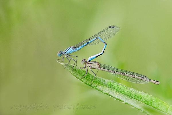 Mating Blue Damselflies. by peterjones