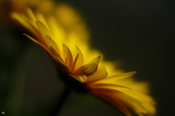 Yellow Gerbera Flower by HarmanNielsen