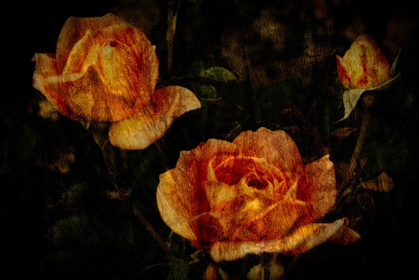 Orange Roses by adagio
