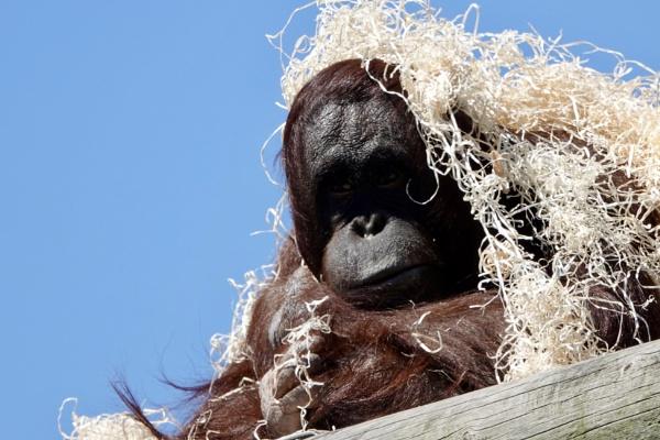 Orangutan With Straw Hat. by Debmercury