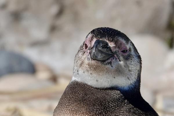 Juvenile Penguin. by Debmercury