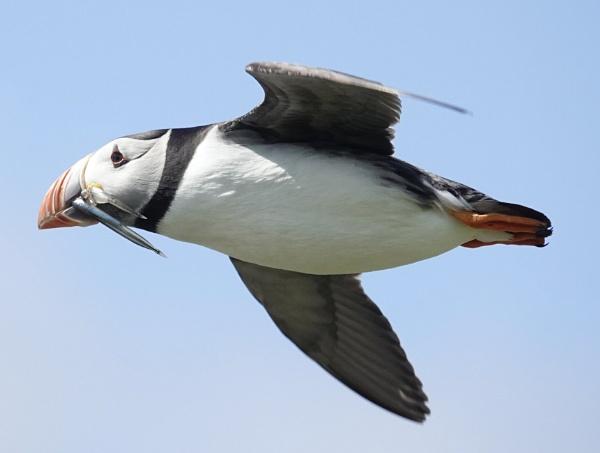 puffin in flight bb by Debmercury