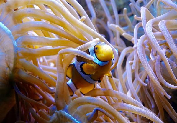 Clown Fish In The Coral. by Debmercury
