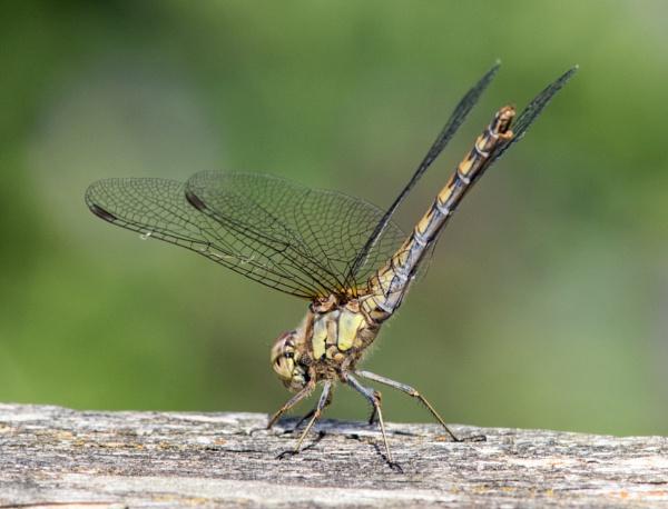 Female common darter by oldgreyheron