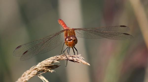 Ruddy darter dragonfly by oldgreyheron