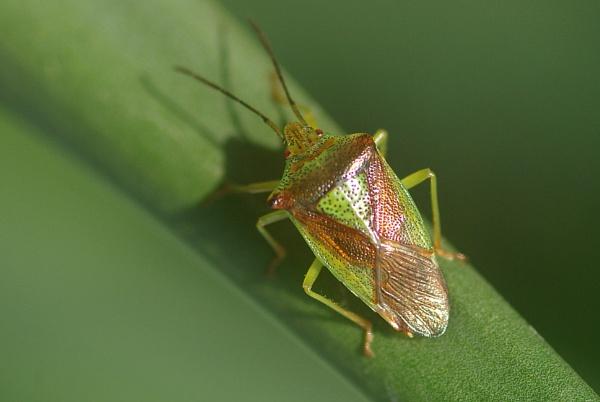 Green Shield Bug by TonyDy