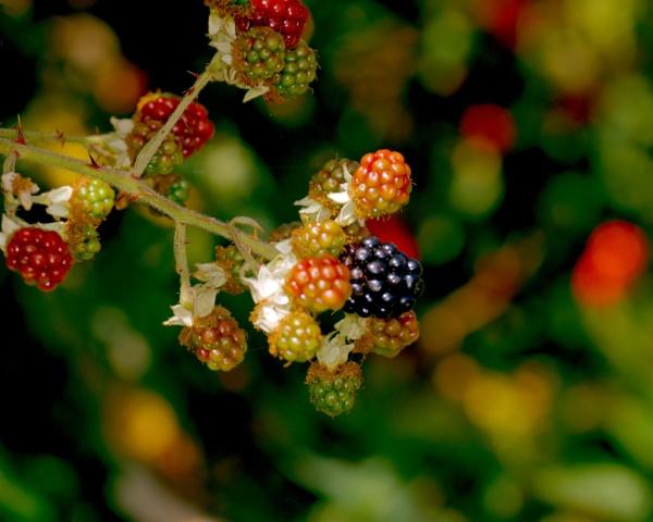 Blackberry by bobby55