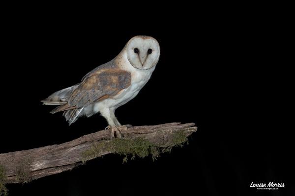 Barn Owl by Louise_Morris