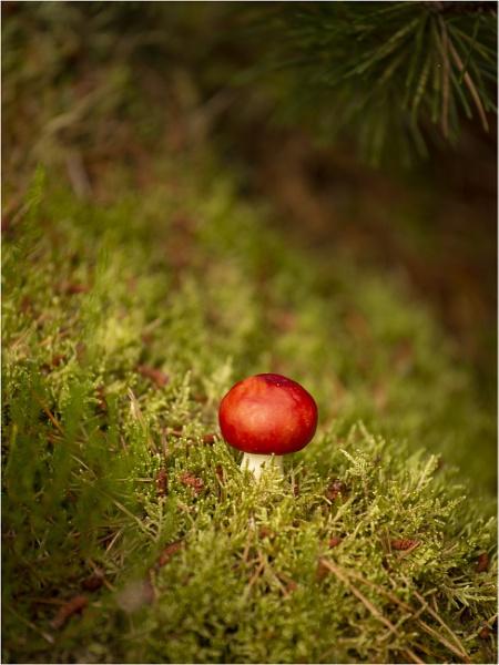 Russula Emetica (The Sickener Mushroom) by wanny