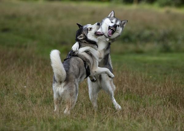 Husky\'s at Play by MossyOak