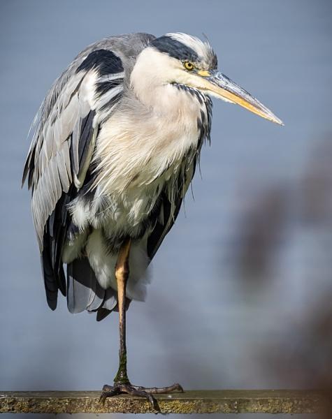 Heron by pauljt