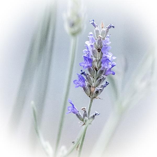 Lavender by pauljt