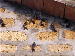 swallows...3