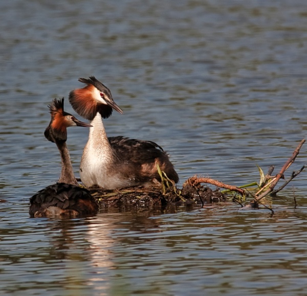 Mating Grebes 2 by Snapper100