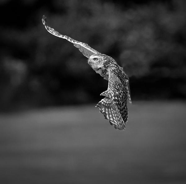 Owl in flight by Snapper100