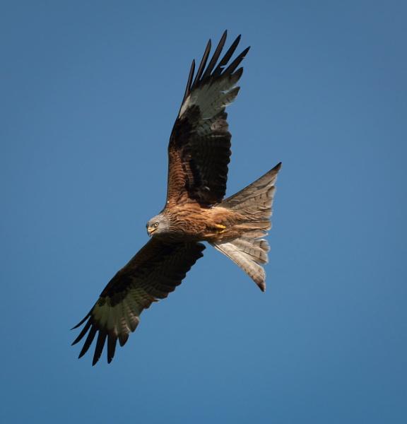 Red Kite in flight by Snapper100