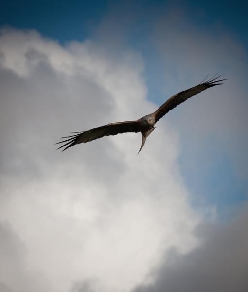 Red Kite in flight 2 by Snapper100