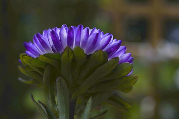 Backlit Aster by deavilin
