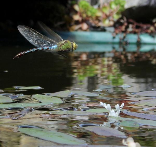 BLUE DRAGON FLY by carol01