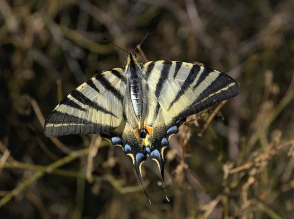 Scarce Swallowtail by Steveo28