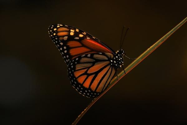 A Sun-lite Monarch  Butterfly by Steveo28