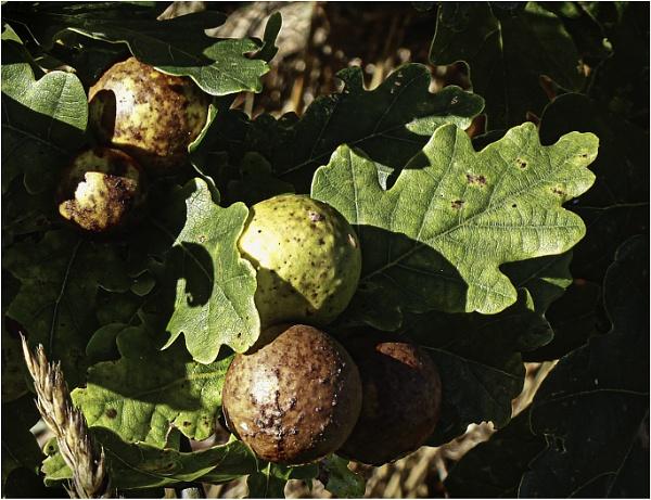 Oak Apples by AlfieK